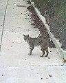 Bobcat (9096346947).jpg
