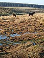 Bog and ponies on Bodmin Moor - geograph.org.uk - 637465.jpg