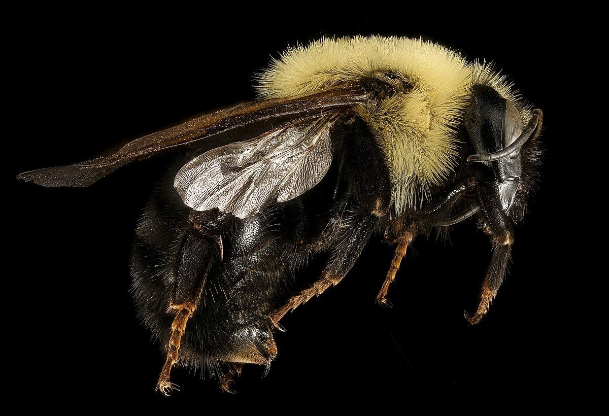 Black Bumble Bee >> Bombus citrinus - Wikipedia