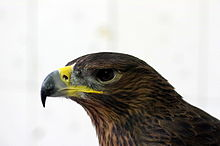 Bonellis Hawk Eagle 1.JPG