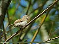 Booted Warbler (Iduna caligata) (15870095116).jpg