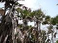 Borassus aethiopum 0066.jpg