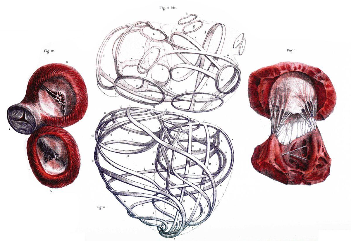 Herzskelett – Wikipedia