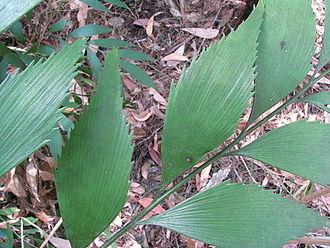Bowenia - Serrulate margin of the pinnae on a wild plant of Bowenia Lake Tinaroo form, at Lake Tinaroo, Atherton Tableland, Queensland, Australia