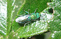 Brilliant Green Bug (90562971).jpg