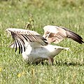 Brilliant plumage of the pelican (42766442040).jpg