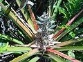 Bromelia antiacantha 1.jpg