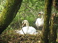 Brooding Swan and mate - geograph.org.uk - 797781.jpg