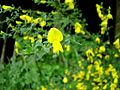 Broom-genet-flowers2.jpg