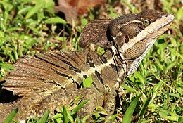 Image Result For Basilisk Lizard Running