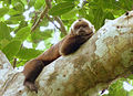 Brown capuchin (7958443592).jpg