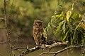 Brown fish owl stare.jpg
