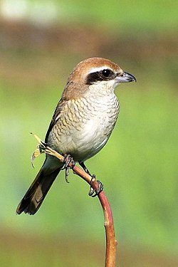 Brown shrike (Lanius cristatus) (cropped).jpg