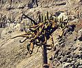 Browningia candelaris, the Candelabro Cactus. (9080681196).jpg