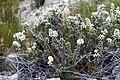 Brunia noduliflora (Bruniaceae) (4576155266).jpg