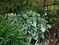 Brunnera macrophylla Jack Frost - Flickr - peganum (1).jpg