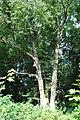 Buchach-Gnizdo-lyp-n2-14070895.jpg