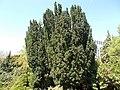 Buda Arboreta. Lower Garden. European yew (Taxus baccata). - Budapest.JPG
