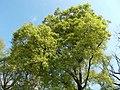 Buda Arboreta. Upper garden. Lebanon Oak (Quercus libani). - Budapest.JPG