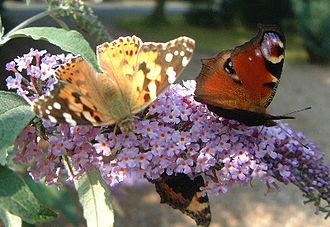 Buddleja davidii - Image: Buddleiabutterflies
