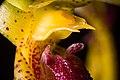 Bulbophyllum recurvilabre Garay, Harvard Pap. Bot. 4 304 (1999) (42776056802).jpg