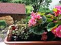 Bumblebee on Begonia x semperflorens-cultorum publicdomain tbf - 24.jpg
