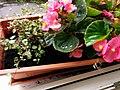 Bumblebee on Begonia x semperflorens-cultorum publicdomain tbf - 7.jpg