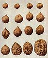 Burbank variation in walnuts.jpg
