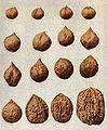 Burbank variation in walnuts.jpg