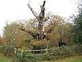 Burnham Beeches, Druids Oak - geograph.org.uk - 1046492.jpg
