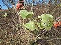 Butea blooms 3.jpg