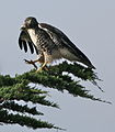 Buteo jamaicensis -California, USA-.jpg