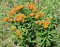 Butterfly Weed, Butterfly Milkweed (Asclepias tuberosa) - Flickr - Jay Sturner (1).jpg