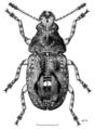 COLE Anthribidae Garyus altus f.png