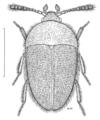 COLE Leiodidae Baeosilpha rutescens.png