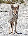 COYOTE (Canis latrans) (5-22-13) death valley area, ca (2) (9060840438).jpg