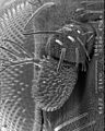 CSIRO ScienceImage 10718 Electron microscope picture of the vinegar flys Drosophila melanogaster antenna showing the forest of sensory hairs that harbour its sense of smell.jpg