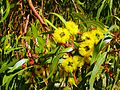 CSIRO ScienceImage 11629 Flowering gum Margaret River Western Australia.jpg