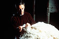 CSIRO ScienceImage 2848 Classing Wool.jpg