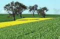 CSIRO ScienceImage 3841 Wheat and Canola Crops.jpg