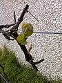 Cabernet Sauvignon budbreak.jpg