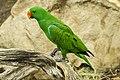 Cairns Eclectus Parrot-1 (23401272322).jpg