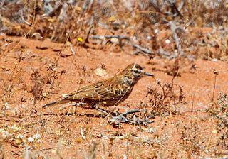Karoo lark species of bird