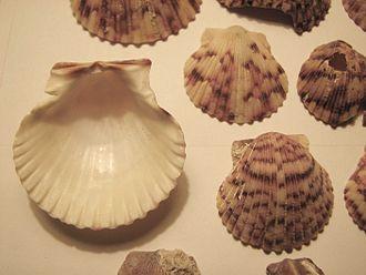 Argopecten gibbus - Single valves of the Atlantic callico scallop Argopecten gibbus