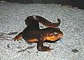 California newt (9096384877).jpg