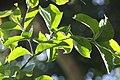 Callaeum psilophyllum 1zz.jpg