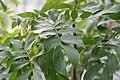 Calliandra haematocephala Nana 1zz.jpg
