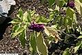 Callicarpa americana 11zz.jpg