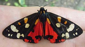 E. B. Ford - Callimorpha dominula morpha typica with spread wings. Polymorphism in this species was investigated by Ford for many years.  The red with black rear wings, revealed in flight, warn of its noxious taste. The front wings are cryptic, covering the rear wings at rest. Here the moth, on a human hand, is resting but alert, and has jinked the front wings forward to reveal the warning flash.