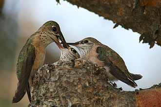 Trochilinae - Calliope Hummingbird (Stellula calliope) female feeding two chicks